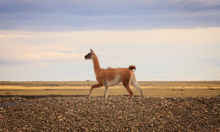 Podcast: Resolviendo conflictos entre personas y vida silvestre en la Patagonia